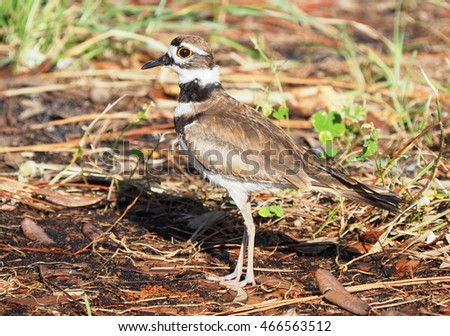 Mature Killdeer Blends In With It's Surroundings as It Looks for Food