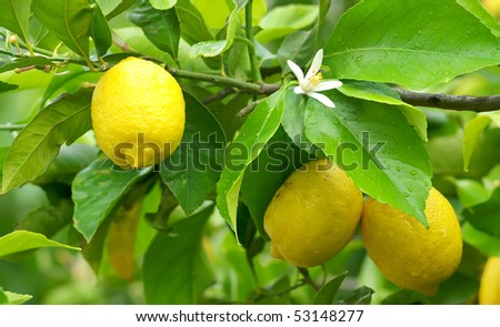 Mature lemons on tree. - stock photo