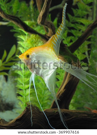 Mature Long Finned or Veiled Yellow Angel Fish in an Aquarium - stock photo
