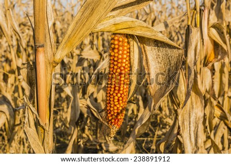 Mature maize ear on a stalk