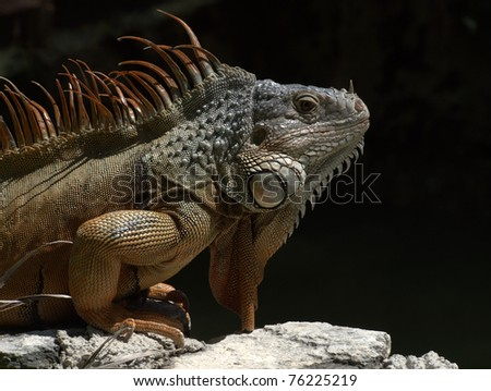 Mature male Green Iguana, Yucatan Mexico - stock photo