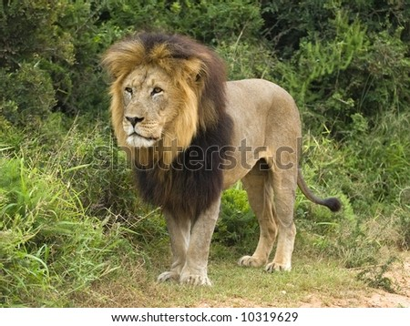 Mature Male Lions are an impressive sight for sure - stock photo
