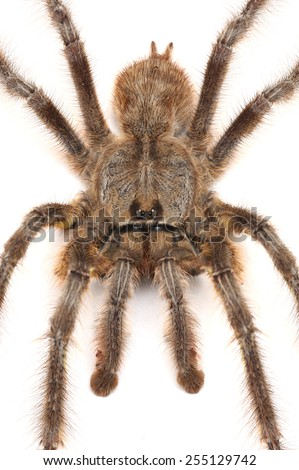 Mature male of Indian Ornamental Tree Spider - Poecilotheria regalis isolated on white. - stock photo