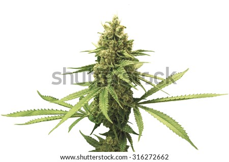 Mature Marijuana Plant with Bud and Leaves Isolated with White Background - stock photo