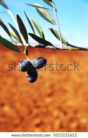 Mature olives on branch