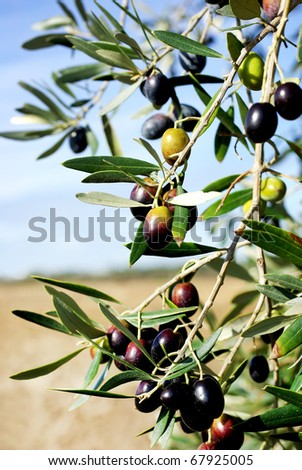 Mature olives on tree. - stock photo