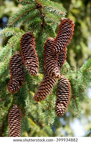 Mature pine cones hanging on the branch.
