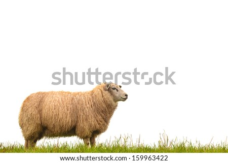 Mature sheep standing on fresh green grass isolated on a white background - stock photo