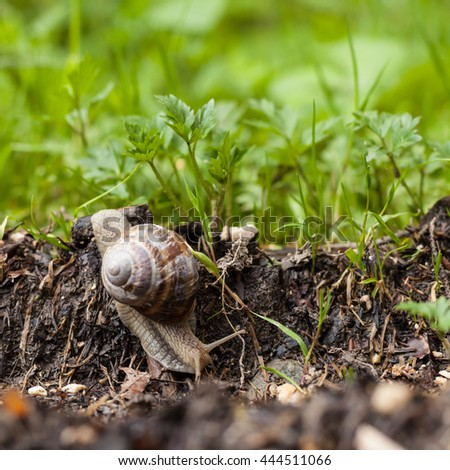 Mature snail crossing green garden