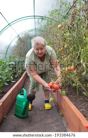 Mature woman shows her grown tomatoes in a greenhouse
