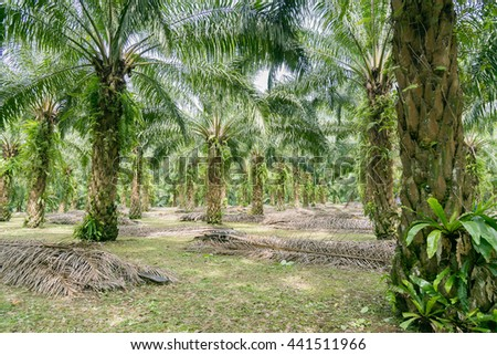 Matured Oil Palm Trees, Rows of Oil Palm Plantation.
