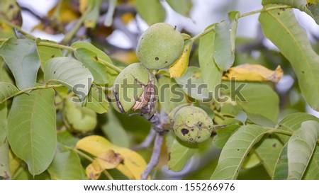 Maturing walnuts on the tree - stock photo