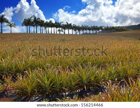 Mauritius. Plantations of pineapples.