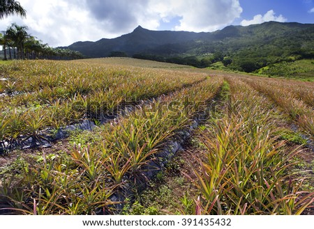 Mauritius. Plantations of pineapples. - stock photo