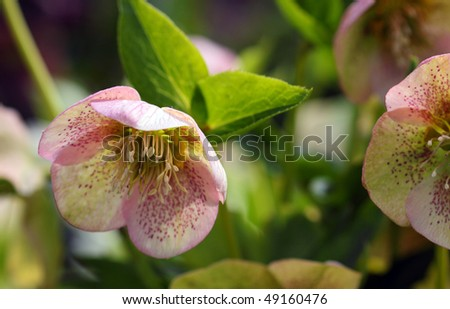 Mauve speckled helleborus flower - stock photo