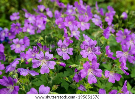 Mauve wild blooming Woodland Cranesbill or Geranium Sylvaticum plants in their natural habitat on a sunny day in springtime. - stock photo