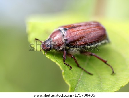 may beetle sitting on a twig with fresh leaves in grey back - stock photo