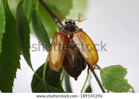 May-bug beetle (Cockchafer, Melolontha Vulgaris) - stock photo