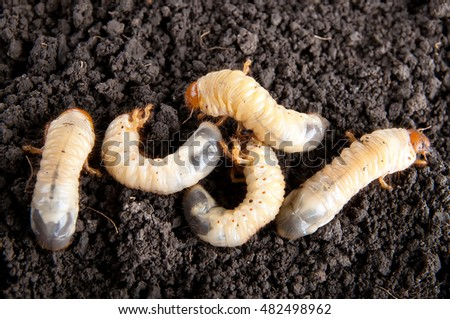 may-bug larvae in the soil background. Melolontha vulgaris