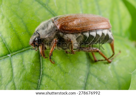 maybug on leaf - stock photo