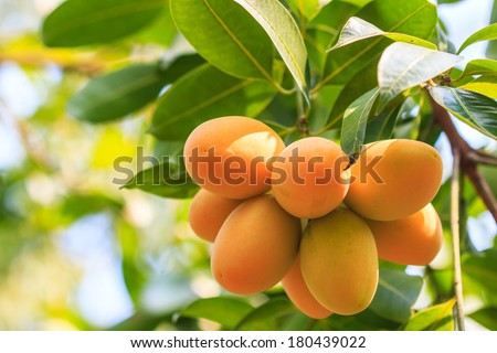 Mayongchid Maprang Marian Plum and Plum Mango thailand - stock photo