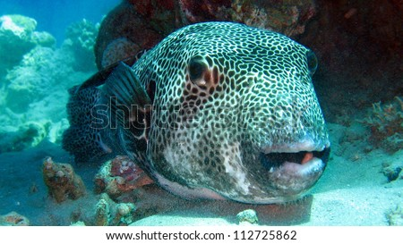 Tetraodon stock images royalty free images vectors for Giant puffer fish