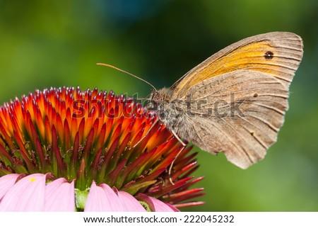 Meadow Brown butterfly on purple coneflower - stock photo