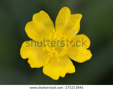 Meadow Buttercup (Ranunculus acris), close-up of flower - stock photo