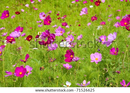 meadow covered in cosmos, a wildflower that covers the south african landscape in summer - stock photo
