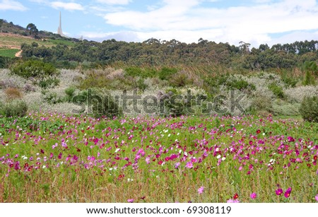 meadow covered in cosmos, a wildflower that covers the south african landscape in summer with the Afrikaans language monument in background