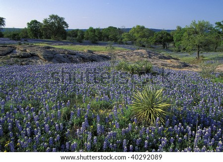 Meadow covered with Lupine also known as bluebonnets in the Texas Hill Country in the middle of Texas - stock photo