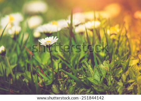 Meadow daisies flowers close-up in sunlight. Vintage effect with soft focus.  - stock photo