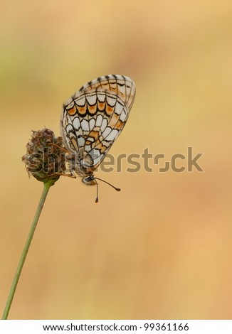 Meadow Fritillary butterfly (Melitaea parthenoides) in a golden backlight