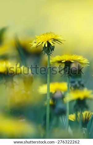 meadow full of dandelions - stock photo