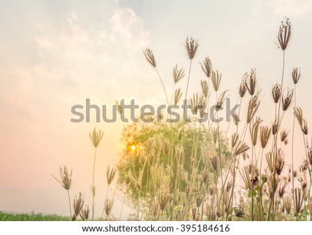 meadow grass soft focus for background, blurred flower with sunset
