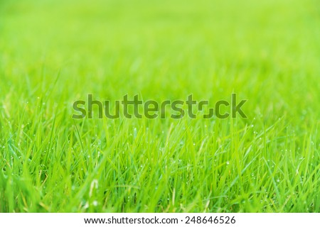 Meadow green lush grass. Closeup. Dew drops. - stock photo