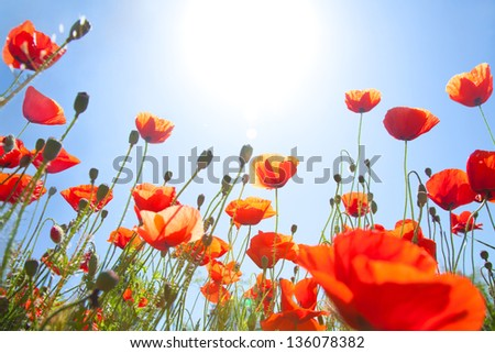 meadow of blooming red poppies under sunny blue skies - stock photo