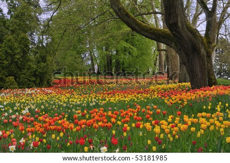 Meadow of colorful tulips and mighty trees in spring - stock photo