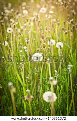 Meadow of dandelion fluff - stock photo