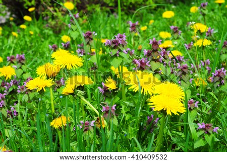 Meadow Of Dandelions to Make Dandelion Wine.  Taraxacum is a large genus of flowering plants in the family Asteraceae and consists of species commonly known as dandelion. - stock photo