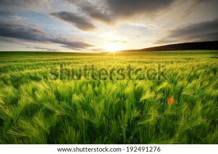 Meadow of wheat on sundown. Nature composition. - stock photo