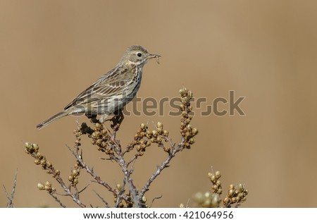 Meadow pipit on a twig  - stock photo