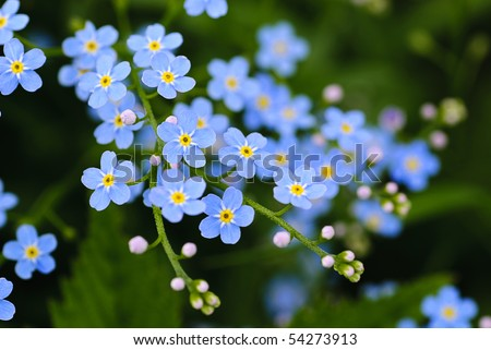 Meadow plant background: blue little flowers - forget-me-not  close up and green grass. Shallow DOF - stock photo