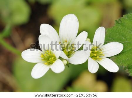 Meadow Saxifrage - Saxifraga granulata White grassland flower - stock photo