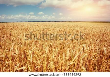 meadow wheat under sky  - stock photo