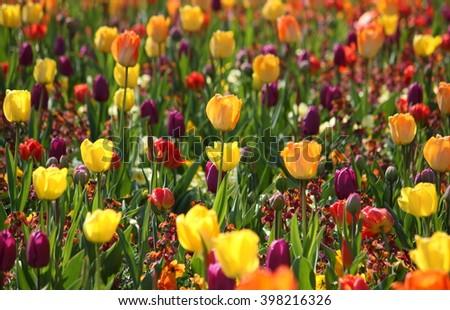 Meadow with beautiful multicolored tulips, bright sunny scene - stock photo