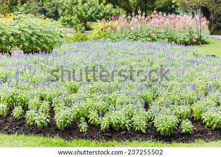 Meadow with blooming Blue Salvia herbal flowers. Blue Salvia is plant in the mint family - stock photo