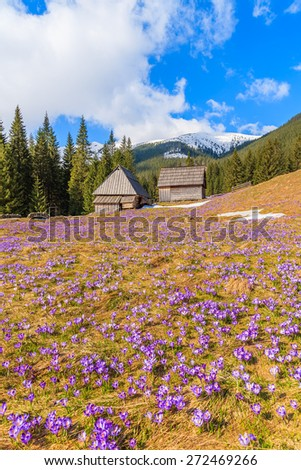 Meadow with blooming crocus flowers in Chocholowska valley and wooden huts in background, Tatra Mountains, Poland