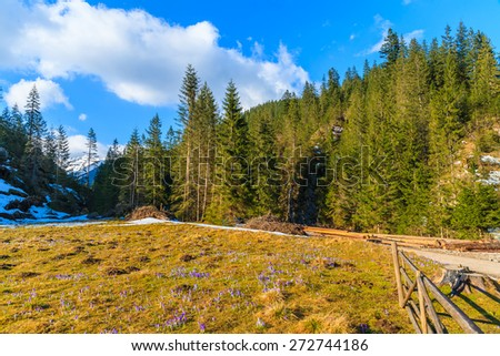 Meadow with blooming crocus flowers in Chocholowska valley, Tatra Mountains, Poland - stock photo