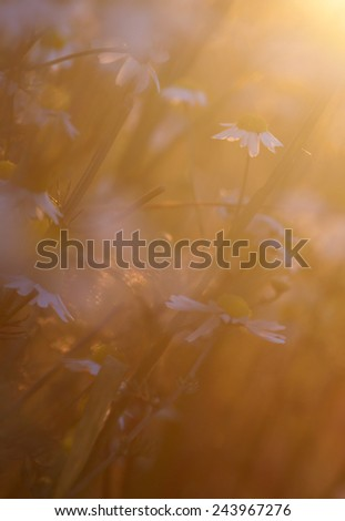 meadow with chamomile flowers, abstract photo - stock photo